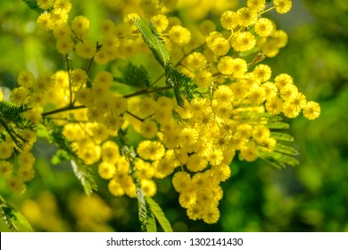Mimosa branches in bloom, sunny.