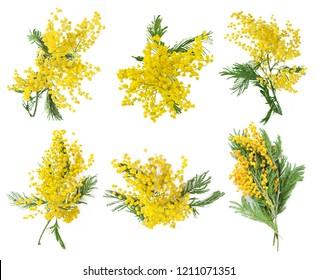 mimosa flower isolated on white background set