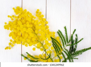 Mimosa Flower Isolated on a White Wooden Background. Women Day Concept