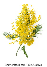 Mimosa flowers branch isolated on white background
