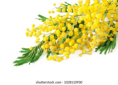 Mimosa flowers bunch isolated on white background