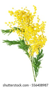Mimosa flowers isolated on white