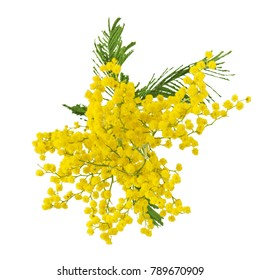 Mimosa flowers isolated on white background