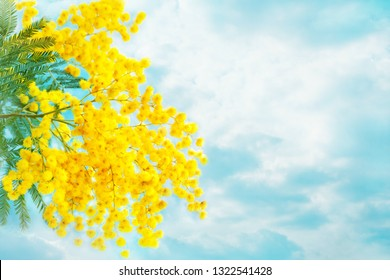 Mimosa flowers with leaves on sky background