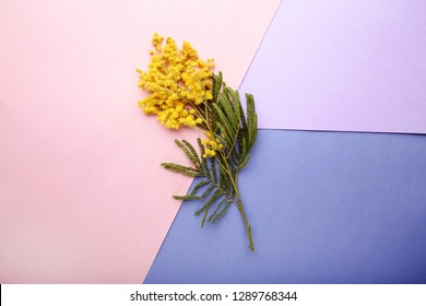 Mimosa flowers on colorful background