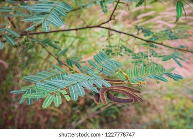 Mimosa pigra, commonly known as the giant sensitive tree - a species of the genus Mimosa, in the family Fabaceae
