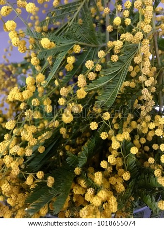 Mimosa Plant Yellow Acacia Dealbata Known Stock Photo Edit Now