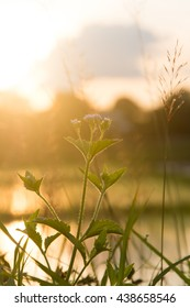 Mimosa pudica flower grass and sunset