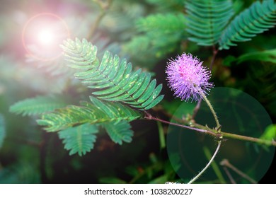 Mimosa pudica (Sensitive plant, sleepy plant, Sleeping grass, Inflorescence, round fully blossoming pink flowers, stand on long brown stems. Background with small leaves. Wonderful plants