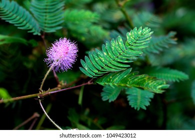 Mimosa pudica (Sensitive plant, sleepy plant, Sleeping grass, In