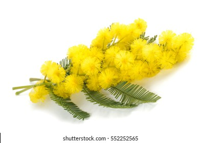 Mimosa (silver wattle) flowers isolated on white background.
