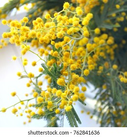Mimosa spring flowers