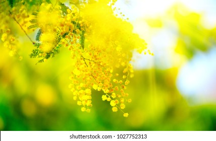 Mimosa Spring Flowers Easter background. Blooming mimosa tree over blue sky. Garden, gardening. Spring holiday blossom