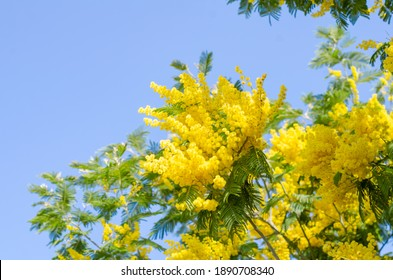 Mimosa tree with bunches of fluffy tender flowers of it. Background of yellow mimosa tree. Concept of holidays and mimosa flower decoration