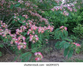 A mimosa tree covered in fuzzy pink flowers in East Tennessee, USA.