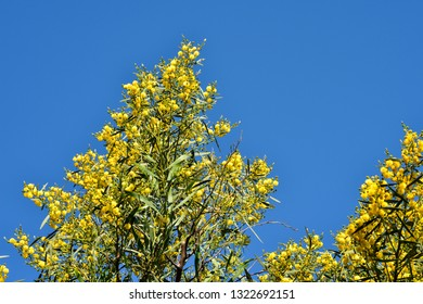 Mimosa tree in flowers. Flowers as a gift to the woman. Mimosa to the women's day. Mimosa blooms. Spring blue sky and blooming yellow mimosa.