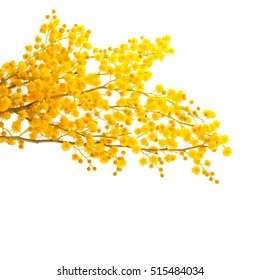 mimosa without leaves. only flowers   on white background