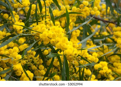 Mimose 1