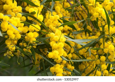 Mimose 2