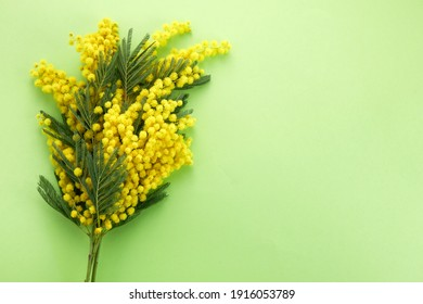 Mimose yellow spring flower brunch on green background