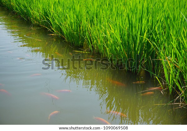"""""""Mina Padi"""" cultivation in rice fields is a combination of planting rice crops and fish farming in the same land."""