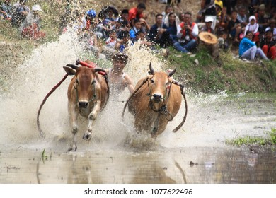 Minang community together to watch the show cow race or pacu jawi as an expression of their gratitude after harvest in District Galogandang, Tanah Datar, West Sumatera, Indonesia Thursday (04/8/2016)
