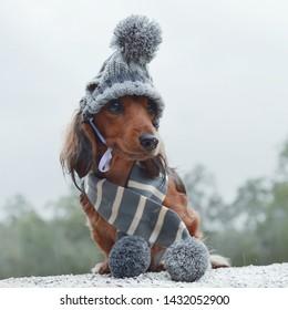 Minature dachshund wearing winter clothing