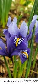 Minature iris flower - nature beauty