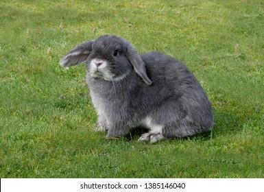Minature lop eared rabbit female on damp grass, domestic breedNorfolk                April 2009