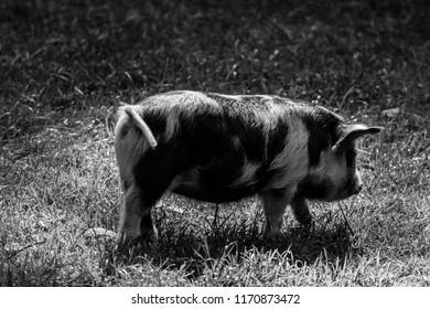 minature pig black and white grazing on grass