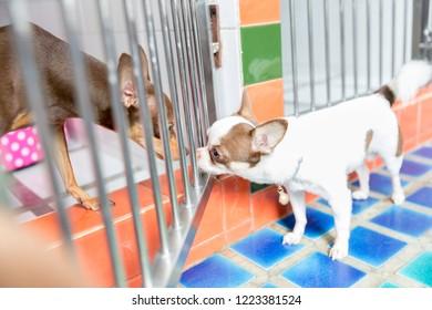 Minature pincher dog in pet boarding