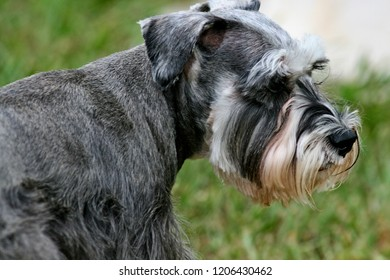 Minature Schnauzer close-up side view, gray shades with white