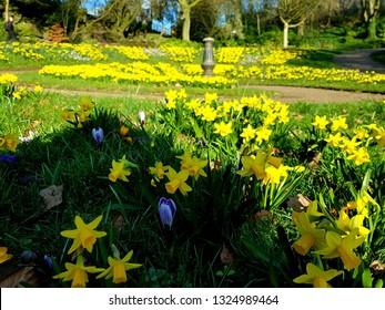 Minature yellow Daffodils