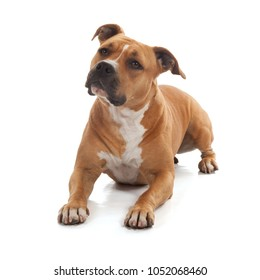 mindful dog staffordshire isolated in white background