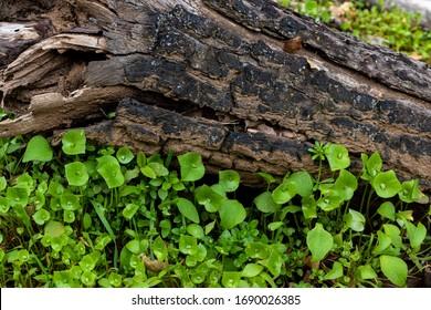 Miner's lettuce, Indian lettuce, winter puslane, good tasting native edible salad plant good for foraging survival food