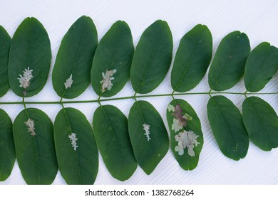 Mines on black locust leaves caused by locust digitate leaf miner Parectopa robiniella