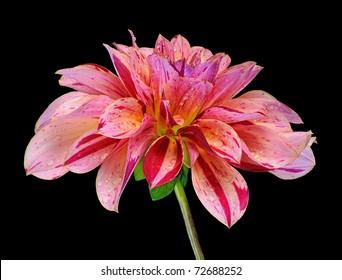 """""""Mingus Toni"""" Variegated Dahlia (Asteraceae) - Studio Image"""