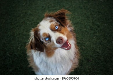 Mini Aussie with stunning blue eyes, Red Merle Aussie, Red Merle dog, dog blue eyes, Pretty dog, Mini Australian Shepherd, Miniature Australian Shepherd, Aussie Face, Australian Shepherd up close