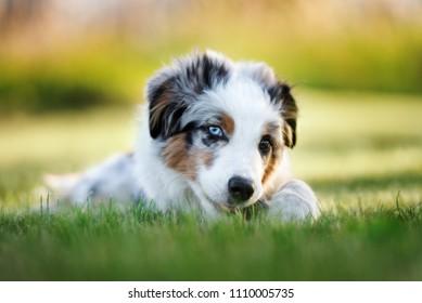 mini australian shepherd puppy lying down outsoors