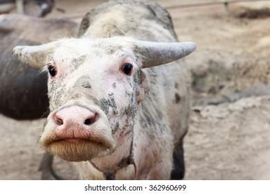 Mini buffalo.