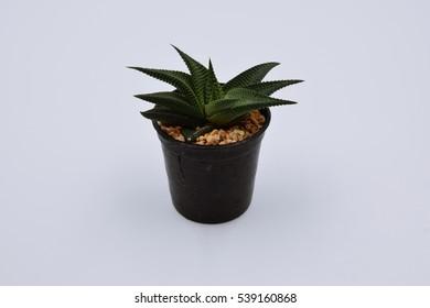 mini cactus on white background