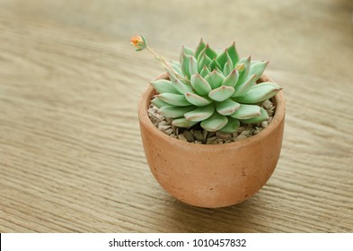 mini clay pot of flowering echeveria succulent house plant on wood background
