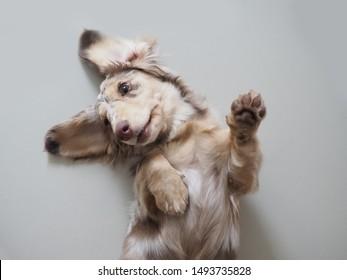 Mini dachshund is playing aroud