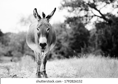 Mini donkey in farm field looking close up in black and white, cute farm animal lifestyle portrait.