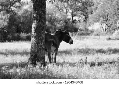 Mini donkey scratching butt on tree in black and white to rub an itch.