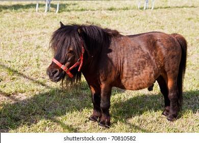 Mini dwarf horse in a pasture at a farm