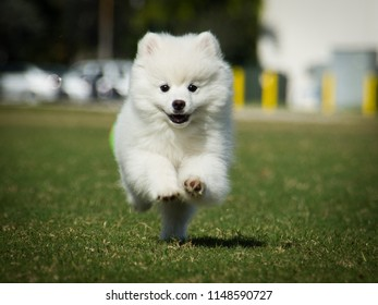 A Mini Eskimo in action running with great background blur