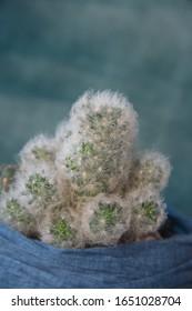 "Mini garden with Mammillaria plumosa, Mammillaria bocasana, ""powder puff"" cactus, feather cactus, succulents,  globe, nipple, fishhook cactus"