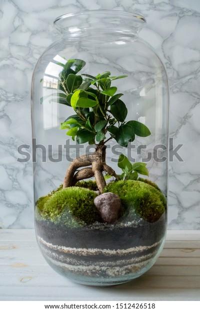 Mini Garden Terrarium Bonsai Tree Glass Stock Photo Edit Now 1512426518