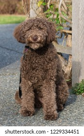 Mini Goldendoodle Dog